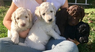 Poodle (Standard) Puppy For Sale in ORLEANS, MA, USA