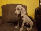 Weimaraner Puppy For Sale in MIAMI, FL