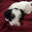 Puppy 5 Havanese-Poodle (Toy) Mix