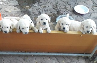 Golden Retriever Puppy For Sale in OJAI, CA, USA