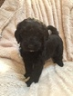 Puppy 0 Sheepadoodle