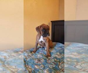 Boxer Puppy for sale in WASHINGTON, KS, USA