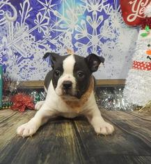 Boston Terrier Puppy For Sale in CHICAGO, IL