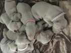 Weimaraner Puppy For Sale in HOWARD CITY, MI, USA