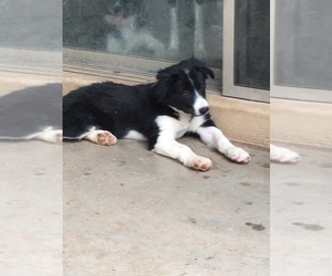 Border Collie Puppy for sale in MESA, AZ, USA