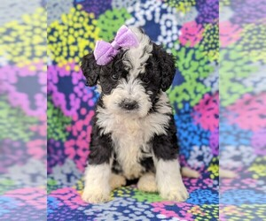 Goldendoodle-Miniature Bernedoodle Mix Puppy for sale in GLEN ROCK, PA, USA