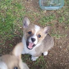Pembroke Welsh Corgi Puppy For Sale in BLISS, ID, USA