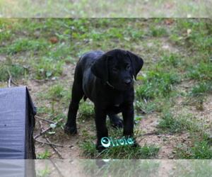 Labrador Retriever Puppy for sale in BENTON, AR, USA