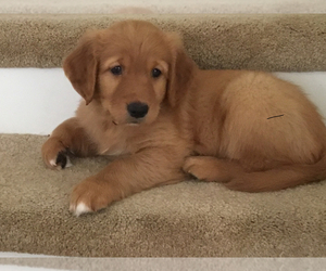 Golden Retriever Puppy for Sale in FALLBROOK, California USA