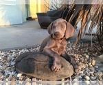 Puppy 1 Weimaraner
