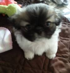 Shinese Puppy For Sale in BAYTOWN, TX, USA