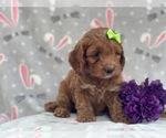 Small #6 Cocker Spaniel-Poodle (Miniature) Mix