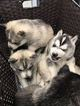Siberian Husky Puppy For Sale in PROVIDENCE, RI