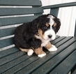 Bernedoodle Puppy For Sale in ARTHUR, IL, USA