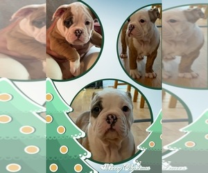 Olde English Bulldogge Puppy for sale in ARNOLD, MD, USA