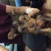 Yorkshire Terrier Puppy For Sale in BOWLING GREEN, Missouri,