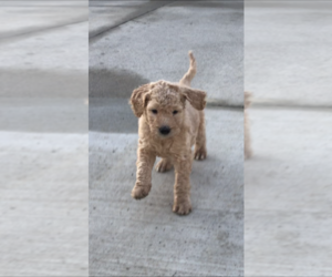 Goldendoodle Puppy for Sale in ALBERT LEA, Minnesota USA