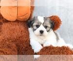Gunner The Teddy Bear Puppy