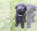 German Shepherd Dog Puppy For Sale in SHAMOKIN, PA, USA