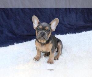 French Bulldog Puppy for sale in MEDINA, WA, USA