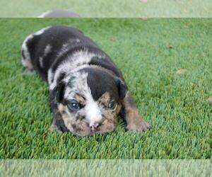 English Bulldog Puppy for sale in LOS ANGELES, CA, USA