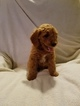 Goldendoodle (Miniature) Puppy For Sale in ELMWOOD, WI, USA