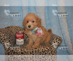 Poodle (Toy) Puppy for Sale in SANGER, Texas USA