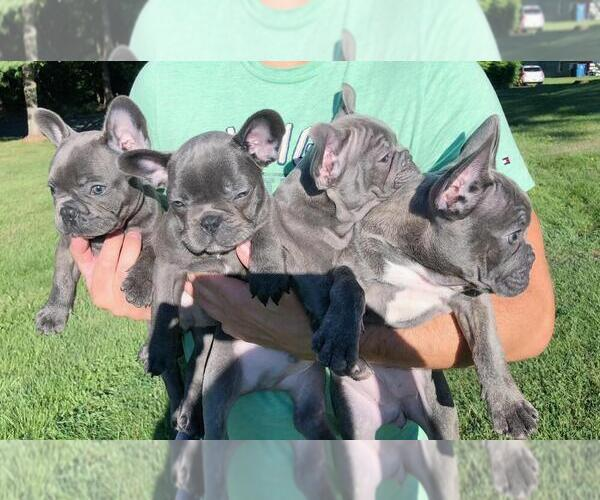 Medium Photo #5 French Bulldog Puppy For Sale in BRIDGEWATER, NJ, USA