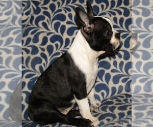 Boston Terrier Puppy for Sale in SPENCERVILLE, Indiana USA