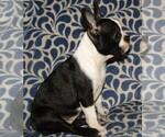 Puppy 0 Boston Terrier