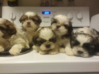 Shih Tzu Puppy For Sale in WORCESTER, MA