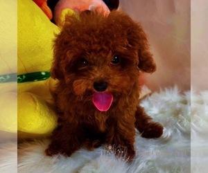 Poodle (Miniature) Dog for Adoption in ASTORIA, New York USA