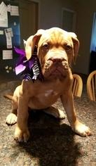Dogue de Bordeaux Puppy For Sale in GRANBURY, TX, USA