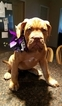 Dogue de Bordeaux Puppy For Sale in GRANBURY, TX