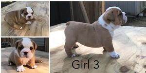 English Bulldogge Puppy For Sale in THOMASVILLE, NC, USA