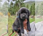 Puppy 3 Mastador