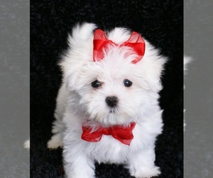 Maltese Puppy for sale in Phillip, Australian Capital Territory, Australia