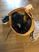 Zuchon Puppy For Sale in MADISON, WI, USA