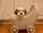 CH Prairiwinds Lovin the Limelight Havanese puppies