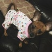 Beagle-Chihuahua Mix Puppy For Sale in LYNN, MA, USA