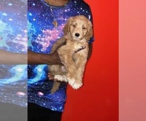 Goldendoodle-Poodle (Standard) Mix Puppy for sale in DETROIT, MI, USA