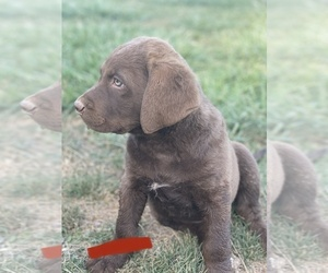 Chesapeake Bay Retriever Puppy for sale in GREELEY, CO, USA