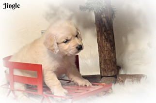 View Ad Golden Retriever Puppy For Sale Massachusetts West