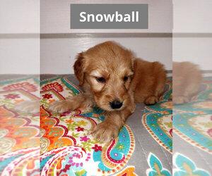 Golden Retriever-Goldendoodle Mix Puppy for Sale in ELK PARK, North Carolina USA