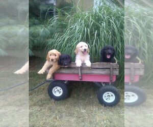 Goldendoodle Puppy for sale in DAYTON, VA, USA