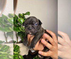 Faux Frenchbo Bulldog Puppy for Sale in RIVERSIDE, California USA