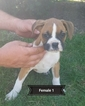 Boxer Puppy For Sale in GOSHEN, Indiana,