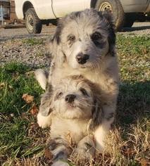 CKC F1 Blue Merle Aussiedoodle Puppy