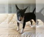 Puppy 1 Miniature Bull Terrier