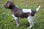 German Shorthaired Pointer Puppy For Sale in STILLWATER, OK, USA